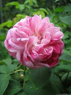 Bourbon Rose: Rosa 'Honorine de Brabant' (discovered in France, 1916)