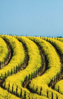 Yellow mustard in the vineyards in Spring, Napa Valley, California, by Jerry Alexander