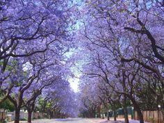 Buenos Aires Passeio no corredor de Jacaranda em flor