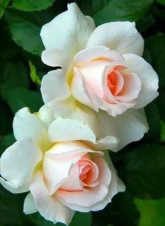 New Flowers Tulips Quotes Ideas Beautiful Flowers Wallpapers, Beautiful Rose Flowers, Flowers Nature, Exotic Flowers, Amazing Flowers, Pretty Flowers, Pink Flowers, Flower Wallpaper, Flower Photos