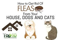 How to Get Rid of Fleas from Your House, Dogs and CatsWhen it comes to household pests, there is one in particular that can give pet owners nightmares– fleas. Flea Remedies, Top 10 Home Remedies, Natural Remedies, Flea In House, Household Pests, Pest Solutions, Flea Treatment, Travel Humor, Dog Hacks