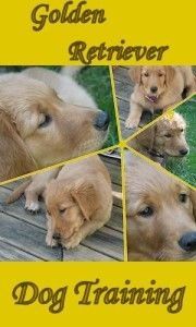 Golden Retriever Dog Training the Easy Way