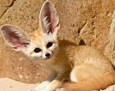 The most charming Fennec fox. (6)