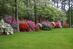 These spectacular azalea gardens were created by Art and Betty White on the North River in Gloucester. Description from goingtoseedinzone5.wordpress.com. I searched for this on bing.com/images