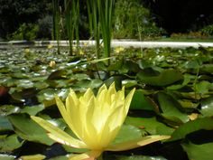Planta acuática en Jardín Botánico de Buenos Aires