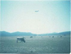 UFO Image Taken in Montana in 1977 - Middle of the day in a field in Montana you can see this clear picture of an Unidentified Flying Object in disk form, hovering over some cattle.