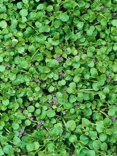 Corsican Mint (Mentha requienii) - 24 Groundcover Plants for Sun on HGTV