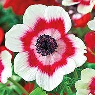 anemone coronaria #bulb