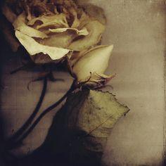 roses 4 my Followers. u guyz make my day wen u repin my pics. Thanks