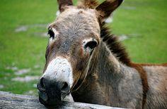Donkey Face by joel8x, via Flickr
