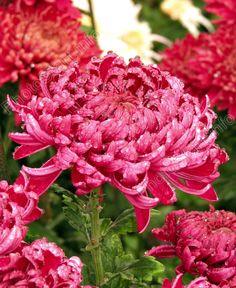 "Chrysanthemum ""Demurral"" of the Nikitsky Botanical Gardens (Ukraine)"