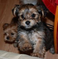 top 5 dogs that are ideal for small apartments pinterest small flats cavapoo and king charles. Black Bedroom Furniture Sets. Home Design Ideas