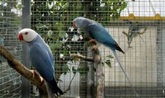 Indian ringnecks (clearheaded)