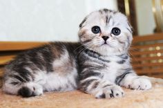 adorable scottish fold                                                                                                                                                                                 More
