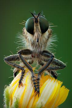 A Robber Fly having a very bad-hair day by erezmarom on deviantART Macro Fotografie, Fotografia Macro, Especie Animal, Mundo Animal, Amphibians, Mammals, Regard Animal, Cool Bugs, Macro Shots