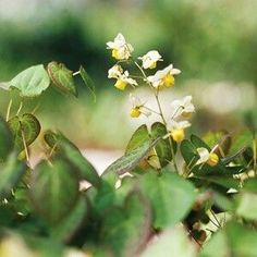 An under-used plant that grows in shade that deserves a lot more attention, Epimedium has it all when it comes to shade plants. The groundcover blooms in spring in shades of red, orange, yellow, pink, purple, or white; it tolerates dry shade; and it's deer- and rabbit resistant. Some varieties are evergreen in mild-winter areas; others offer good fall color. Most types grow best in Zones 5-9 and reach about 1 foot tall.  Top Picks: 'Niveum' offers pure white flowers; 'Sulfureum' offers…