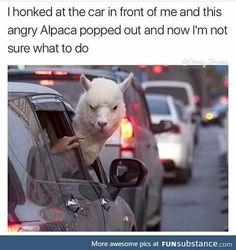 Angry alpaca  lol