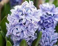 Hyacint af sorten 'Delft Blue' - en helt vidunderlig farve.