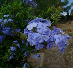 The Plant of the Month in the Alhambra, Granada* Featuring this month in the Alhambra gardens is the beautiful Cape Leadwort or Plumbago auriculata. This shrub like, climbing plant, native to South Africa is fast growing, reaching to around 4 metres. The spectacular blue flowers cover the bush in profusion from June to early December