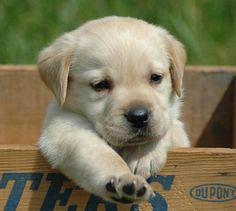 Lab puppies are so darn cute!