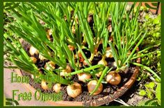 Did you know you only have to buy onions once to have fresh onions for years? Here's a simple frugal tip for dirt cheap Onions (reposted by request) http://www.budget101.com/gardening-landscaping/free-onions-life-4365.html