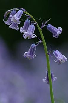 Knitted flowers bluebells x 2 stems with 5 bluebells on each