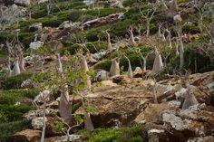 Adenium obesum socotranum growing in Homhil, Socotra.