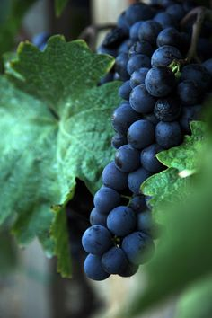 Grape by Marcella Toth - Red grape in Hungary, Szekszárd Click on the image to enlarge. Image Photography, Food Photography, Red Grapes, Nature Photos, Fruit, Hungary, Amazing, Flowers, The Fruit