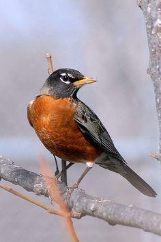 Texas Robin | Flickr - Photo Sharing!