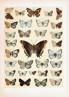 "dendroica: "" dieschmetterling03hof_0077 by Bennyboymothman on Flickr. """