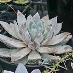 Visited Kakusen-En Cactus & Succulent shop in Tokyo and was able to meet Hideaki San @sabo10fam and let me take photos of their shop 🙏 😊🌵. I saw an Echeveria Mexican Giant for the very first time, it was stunning I wish I could take it home 😭😢. Thank you so much @kabutoganijon for telling me about this place, I made sure to make time to visit while  I'm here in Tokyo. I will be posting more photos later . . #fortheloveofsucculent #sonya6000 #succulentpropagation #succulentgarden…