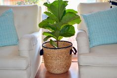 J.S.Lately Design: FIDDLE LEAF FIG TREE IS HOME AND MATCHING UP THE POTS!