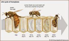 Η ζωή μιας Μέλισσας