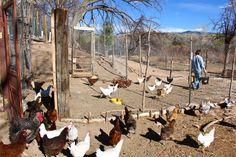 Cómo construir un gallinero para gallinas ponedoras | eHow en Español