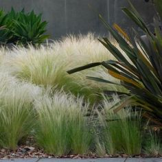 Mexican Feather Grass (Stipa tenuissima) - Grown from Mexican Feather Grass seeds, this beautiful mounded ornamental grass with needle-like flexible leaves forms dense, bright green clumps. The flower Outdoor Plants, Outdoor Gardens, Landscape Design, Garden Design, Mexican Feather Grass, Stipa, Xeriscaping, Low Maintenance Garden, Grass Seed