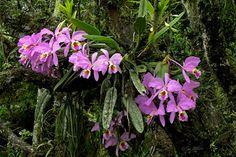 Cattleya mossia in natural habitat near Guanare, Venezuela