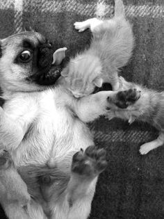 Hey guys, I'm not your mom!! #Pug #Dog #Kittens #Mom #Cute #Play