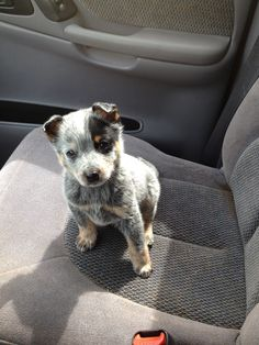 Blue heeler puppy [pinner] I am getting one of these puppies in 3 weeks I cant wait sooo cute!!!