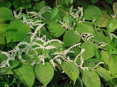 Japanese Knotweed (source of resveratrol) and how it reduces inflammation/improves look and feel of entire body