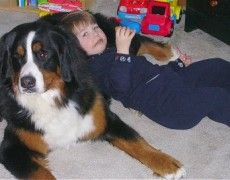 Bernese Mountain Dog Info, Temperament, Puppies, Training, Pictures