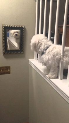 Coton De Tulear barks at himself Más White Kittens, Cats And Kittens, Ragdoll Kittens, Bengal Cats, Kitty Cats, Cute Funny Animals, Cute Baby Animals, Cute Puppies, Cute Dogs