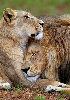 Baby Animals, Funny Animals, Cute Animals, Beautiful Lion, Animals Beautiful, Protect Nature, Lion Couple, Dr. Seuss, Afrique Art