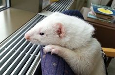 When a ferret develops heart conditions that threaten his life, a pacemaker brings a solution that brings joy back to the lives of him and his family.