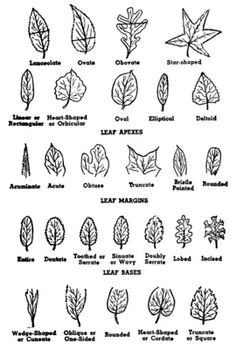 Easy Pencil Drawings Of Roses as well Home Tropical Plants besides Oak Wilt Or Anthracnose furthermore Corporate Espionage For Dummies Hp Scanners further How To Identify Trees. on identify leaves