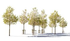 cut out group of blossoming cherry trees
