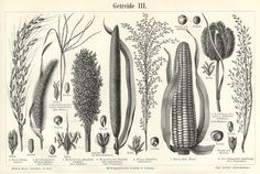 CEREAL CROPS,Corn, Maize,Millet, Botanical Print, 1894 Original Antique Wood Engraving