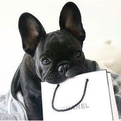 frenchies love chanel too
