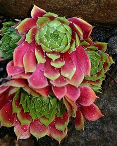 Sempervivum 'Mars' HEN AND CHICK