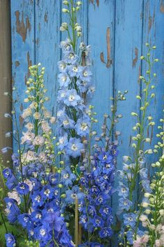 Tall stalks filled with lacy petals. Perfect for a cut flower or cottage garden.Tall stalks filled with lacy petals. Perfect for a cut flower or cottage garden. Love Flowers, Beautiful Flowers, Tall Flowers, Summer Flowers, Colorful Flowers, Delphiniums, Photo Blue, Garden Cottage, Back Gardens