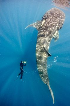 Huge whale shark, little swimmer, botella posture, Isla Mujeres, mexico